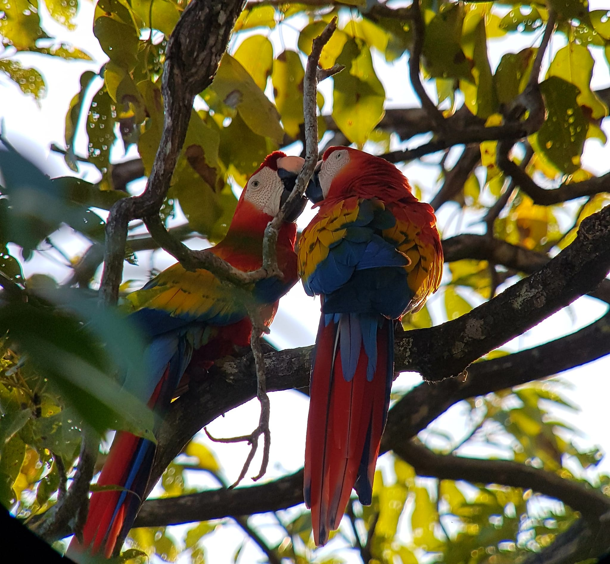 macaws-los-3bs